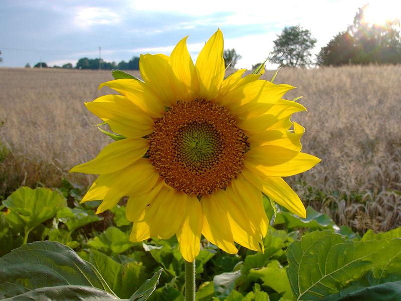 Sunflower (Pic HendrixXx)